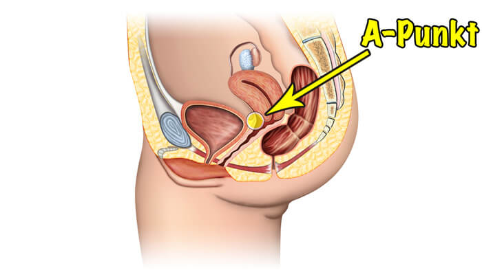 Weibliche Anatomie: A-Punkt